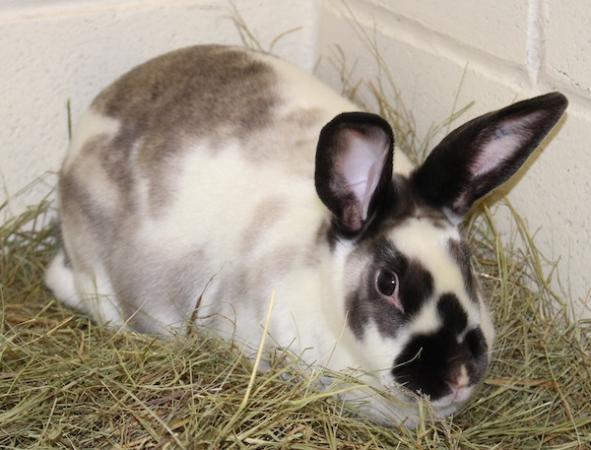 Lilo, a big bunny