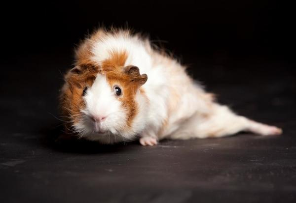 Bugsy the guinea pig