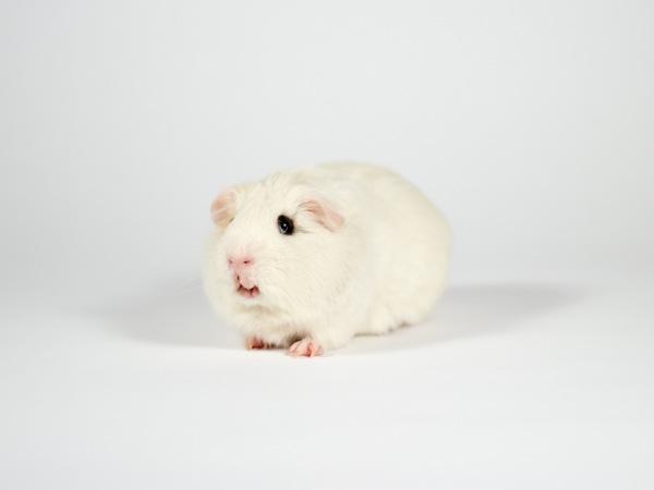 Flash the guinea pig