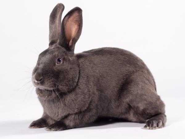 Henry the rabbit