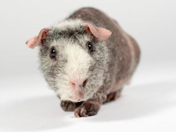Mookie the skinny pig