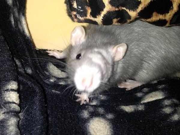 Reggie the rat