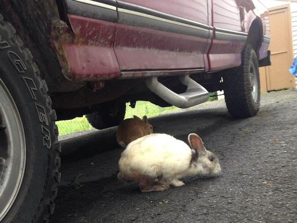 Bunnies under a car
